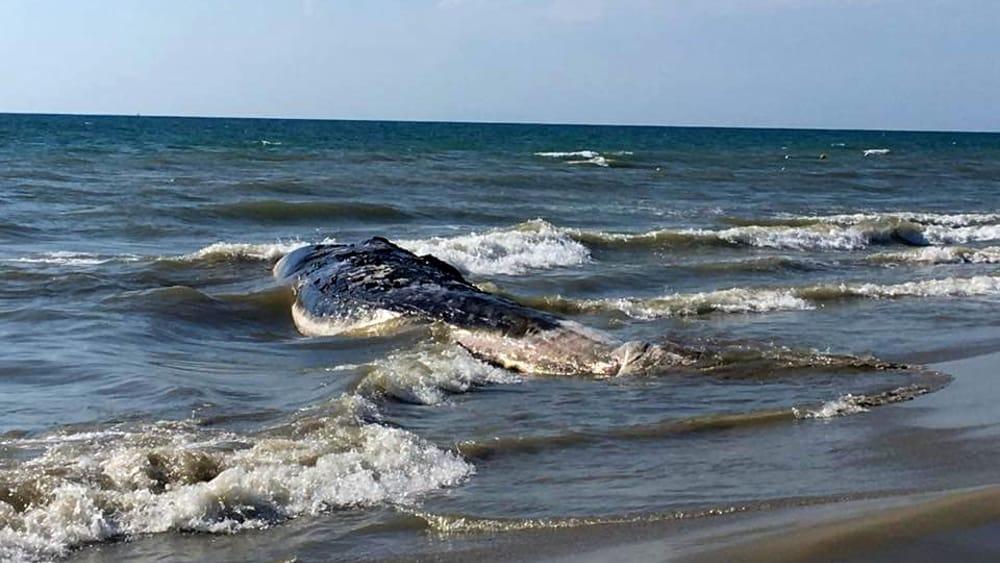 Bagno Balena Marina Di Pisa : Balena spiaggiata a calambrone 1 agosto 2016