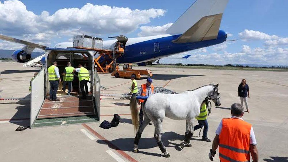 Aeroporto Emirati Arabi : Cavalli degli emirati arabi all aeroporto di pisa